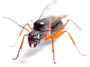Carpenter Ant control by Clark's Advanced Pest Control