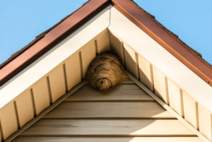 Gray paper wasp nest in corner of triangular roof against siding.