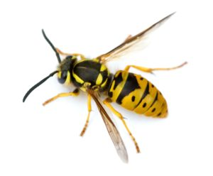 Wasp control by Clark's Advanced Pest Control