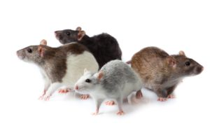 Rodent Control by Clark's Advanced Pest Control