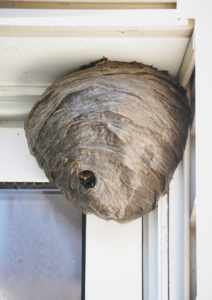 A huge bee hive nest is hanging from a house with bees coming in and out for a pest control or allergy concept.